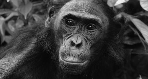 Communicants publics : des bonobos dans la jungle territoriale